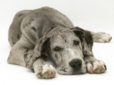 Blue Harlequin Great Dane Pup, 'Maisie', Lying with Chin on the Floor Reproduction photographique par Jane Burton