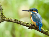 Common Kingfisher Perched on Mossy Branch, Hertfordshire, England, UK Reproduction photographique par Andy Sands