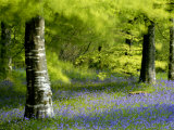 Beech and Bluebell Woodland at Lanhydrock, Cornwall, UK Photographic Print by Ross Hoddinott