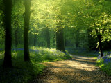 Lanhydrock Beech Woodlandin halki vievä polku, jonka varrella on keväisiä sinikelloja, Cornwall, Iso-Britannia Valokuvavedos tekijänä Ross Hoddinott