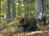 Captive Wild Boars in Autumn Beech Forest, Germany Fotografisk tryk af Philippe Clement