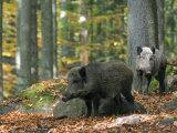 Captive Wild Boars in Autumn Beech Forest, Germany Fotografisk trykk av Philippe Clement