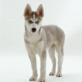 Siberian Husky Bitch, 9 Weeks Old, Standing Portrait Reproduction photographique par Jane Burton