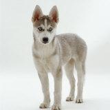 Siberian Husky Bitch, 9 Weeks Old, Standing Portrait Fotoprint van Jane Burton