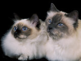 Two Birman Cats Showing Deep Blue Eyes Reproduction photographique par Adriano Bacchella