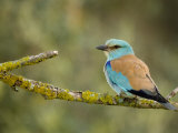 Common Roller Perched, South Spain Photographic Print by Inaki Relanzon