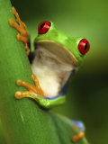 Red Eyed Tree Frog Portrait, Costa Rica Fotografisk tryk af Edwin Giesbers