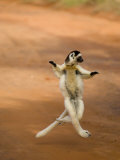 Verreaux's Sifaka 'Dancing', Berenty Private Reserve, South Madagascar Photographic Print by Inaki Relanzon