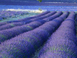 Field of Lavander Flowers Ready for Harvest, Sault, Provence, France, June 2004 Photographic Print by Inaki Relanzon