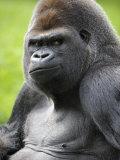 Male Silverback Western Lowland Gorilla Portrait, France Impressão fotográfica por Eric Baccega