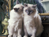Two Birman Cats Sitting on Furniture, Interacting Reproduction photographique par Adriano Bacchella