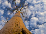 Looking Up at Baobab on Baobabs Avenue, Morondava, West Madagascar Photographic Print by Inaki Relanzon