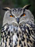 Eurasian Eagle-Owl Captive, France Fotoprint van Eric Baccega