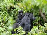 Female Mountain Gorilla Carrying Baby on Her Back, Volcanoes National Park, Rwanda, Africa Fotografisk tryk af Eric Baccega