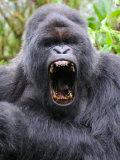 Male Silverback Mountain Gorilla Yawning, Volcanoes National Park, Rwanda, Africa Fotografie-Druck von Eric Baccega