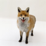 Red Fox Vixen Panting, UK Reproduction photographique par Jane Burton