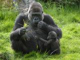 Western Lowland Gorilla Mother Feeding with Baby Investigating Grass. Captive, France Fotografie-Druck von Eric Baccega