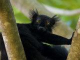 Black Lemur Male, Nosy Komba, North Madagascar, Iucn Vulnerable Photographic Print by Inaki Relanzon