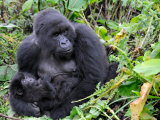 Female Mountain Gorilla with Her Baby, Volcanoes National Park, Rwanda, Africa Fotografisk tryk af Eric Baccega