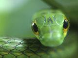 Satiny Parrot Snake Close Up, Costa Rica Fotografisk tryk af Edwin Giesbers