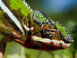 Panther Chameleon Showing Colour Change, Sambava, North-East Madagascar Photographic Print by Inaki Relanzon
