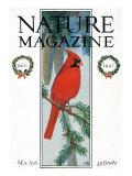 Nature Magazine - View of a Cardinal Perched on a Pine Branch, c.1927 Posters par  Lantern Press