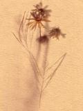 Wilted Flower and Stem Sketch Posters av Robert Cattan