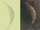Contrasting Magnolia Leaves Plakater av Robert Cattan