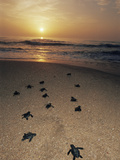 Kemp's Ridley Turtle Hatchlings Head for the Sea from Protected Nests, Rancho Nuevo, Gulf of Mexico Prints by Doug Perrine