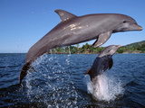 Bottlenose Dolphins Leaping, Roatan, Bay Islands, Honduras Prints by Doug Perrine