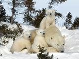 Polar Bear (Ursus Maritimus) Mother with Triplets, Wapusk National Park, Churchill, Manitoba Affiches par Thorsten Milse