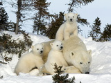 Polar Bear (Ursus Maritimus) Mother with Triplets, Wapusk National Park, Churchill, Manitoba Art by Thorsten Milse