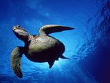 Green Turtle Swimming, Hawaii, Pacific Ocean, Underside View Poster by Doug Perrine