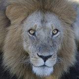 Male African Lion Face, Panthera Leo, Maasai Mara, Kenya, Africa Photographic Print by Arthur Morris