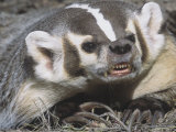 American Badger Snarling and Showing Showing its Long, Digging Claws, Taxidea Taxus, North America Lámina fotográfica por Adam Jones