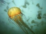 Sea Nettle (Chrysaora Fuscescens) Jelly Swarm Lámina fotográfica por David Wrobel