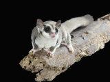 Sugar Glider, Petaurus Breviceps, a Marsupial Mammal from Australia Fotografie-Druck von Joe McDonald