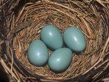 Robin Eggs in the Nest, Turdus Migatorius, USA Fotografisk trykk av Adam Jones