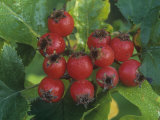 Hawthorn Fruits, Crataegus, North America Fotoprint av John & Barbara Gerlach