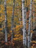 White or Paper Birch Forest in the Fall, Betula Papyrifera, North America Fotoprint av John & Barbara Gerlach