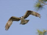 Osprey Flying (Pandion Haliaetus), Florida, USA Reproduction photographique par Arthur Morris