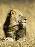 Male African Lion, Panthera Leo, Resting in Savanna Grasses, Masai Mara Game Reserve, Kenya, Africa Fotografie-Druck von Joe McDonald