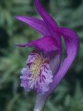 Dragon's Mouth Orchid Flower, Arethusa Bulbosa, Eastern North America Fotoprint av John & Barbara Gerlach