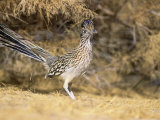 Greater Roadrunner (Geococcyx Californianus), New Mexico, USA Reproduction photographique par Steve Maslowski