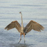 Great Blue Heron Wading in Water with its Wings Spread, Ardea Herodias, Sanibel, Florida, USA Photographic Print by Arthur Morris