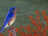 Male Eastern Bluebird, Sialia Sialis, Eating a Red Berry, North America Reproduction photographique par Gay Bumgarner