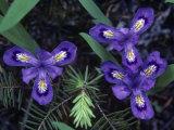 Dwarf Lake Iris Flowers, Iris Lacustris, the Michigan State Wildflower, Michigan, USA Fotoprint av John & Barbara Gerlach