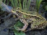Northern Leopard Frog (Rana Pipiens) Eating a Dragonfly Fotografisk trykk av Gary Meszaros