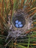 Red-Winged Blackbird Nest with Four Eggs in a Marsh, Agelaius Phoeniceus, North America Fotografisk trykk av Gary Meszaros
