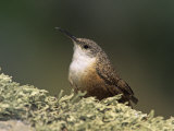 Canyon Wren (Catherpes Mexicanus), California, USA Reproduction photographique par Steve Maslowski